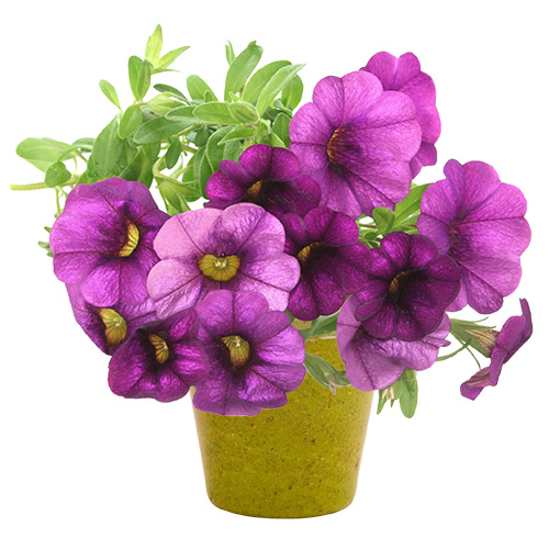 Logózható növény
